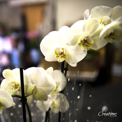 White Orchid, Living Planters,- Creations Flowers