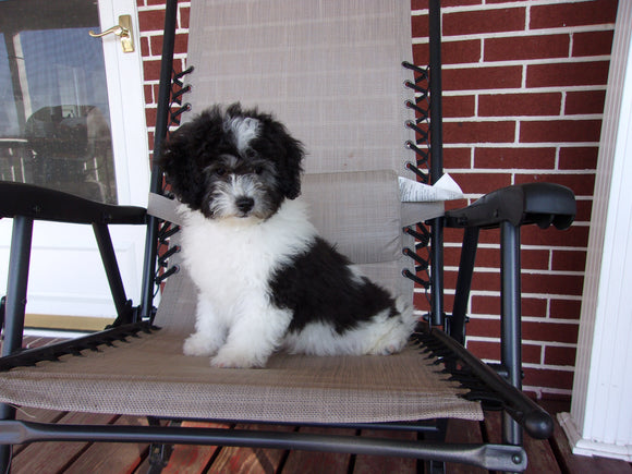 Teddy Poo Puppy For Sale Applecreek, OH Male - Omar