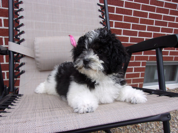 Teddy Poo Puppy For Sale Applecreek, OH Female - Tootsie