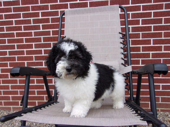 Teddy Poo Puppy For Sale Applecreek, OH Male - Teddy