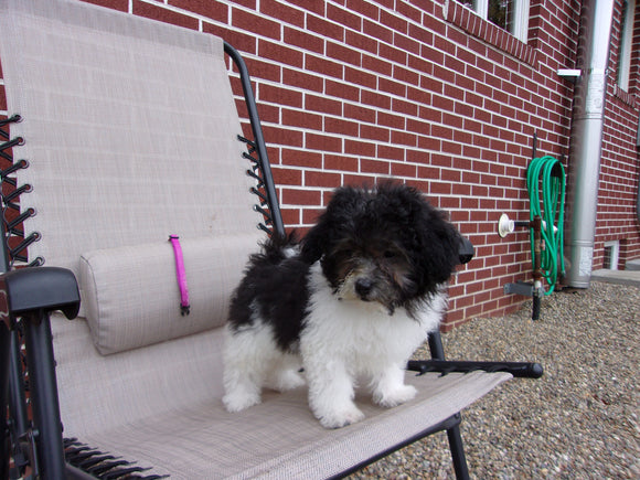 Teddy Poo Puppy For Sale Applecreek, OH Female - Lilly