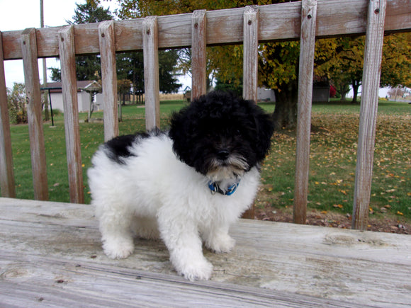 Teddy Poo Puppy For Sale Applecreek, OH Male - Sparky