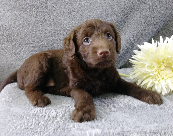 F1B Medium Labradoodle For Sale Millersburg, OH Female- Princess
