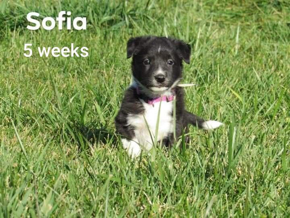 Border Collie For Sale Fredericksburg, OH Female- Sofia
