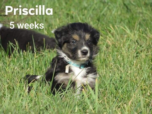 Border Collie For Sale Fredericksburg, OH Female- Priscilla