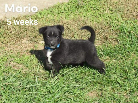 Border Collie For Sale Fredericksburg, OH Male- Mario