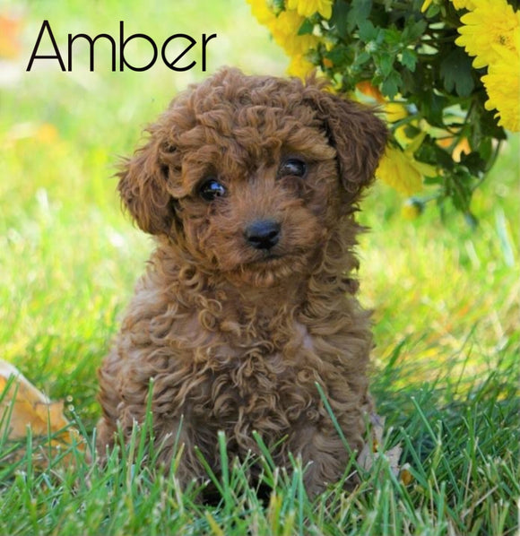 AKC Registered Toy Poodle For Sale Loudenville, OH Female- Amber