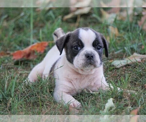 Puggle For Sale Sugarcreek, OH Male - Winston