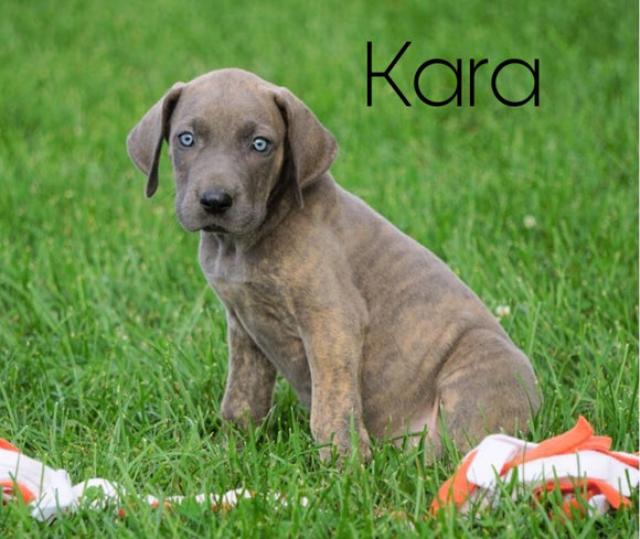 AKC Registered Great Dane For Sale Millersburg, OH Female - Kara