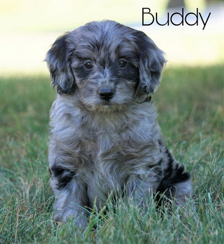 Mini F1B Goldendoodle *BLUE MERLE* For Sale Sugarcreek, OH Male- Buddy