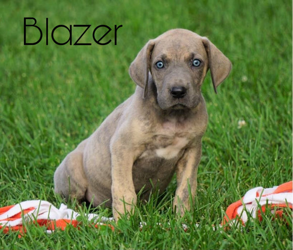 AKC Registered Great Dane For Sale Millersburg, OH Male - Blazer