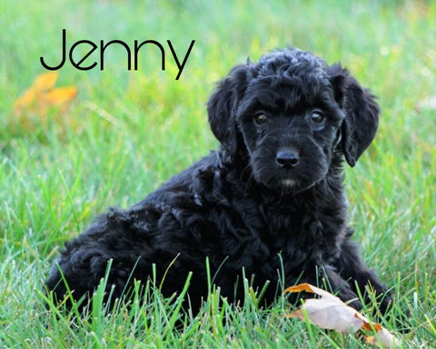 Mini Goldendoodle For Sale Loudenville, OH Female- Jenny