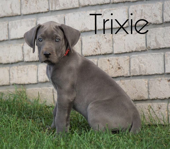 AKC Registered Great Dane For Sale Millersburg, OH Female - Trixie