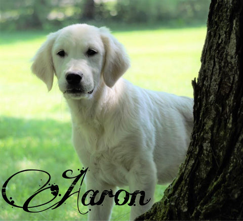 AKC Registered English Cream Golden Retriever For Sale Fredericksburg, OH Male- Aaron
