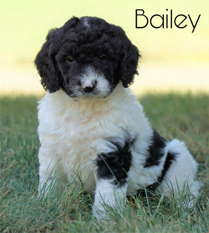 Mini F1B Goldendoodle For Sale Sugarcreek, OH Male- Bailey