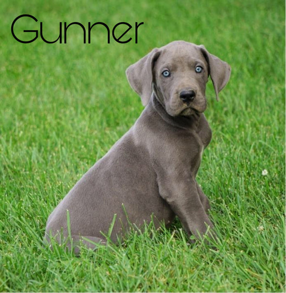 AKC Registered Great Dane For Sale Millersburg, OH Male- Gunner