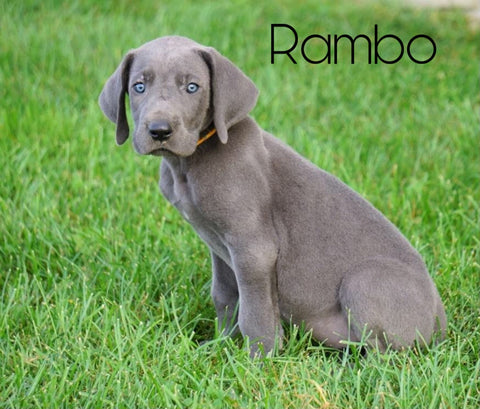 AKC Registered Great Dane For Sale Millersburg, OH Male - Rambo