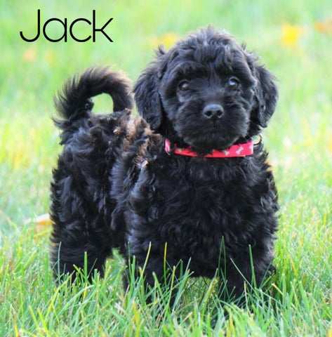 Mini Goldendoodle For Sale Loudenville, OH Male- Jack