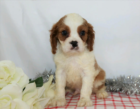AKC Registered Cavalier King Charles Spaniel For Sale Wooster, OH Male- Alex