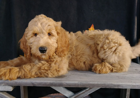 F1 Goldendoodle For Sale Millersburg, OH Male- Alex