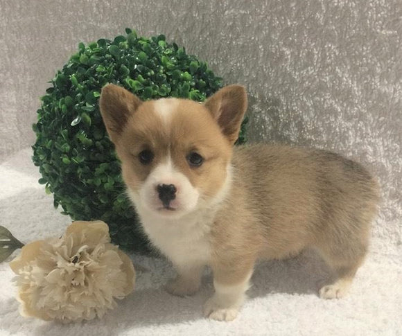 ACA Registered Pembroke Welsh Corgi For Sale Holmesville, OH Female- Alexa