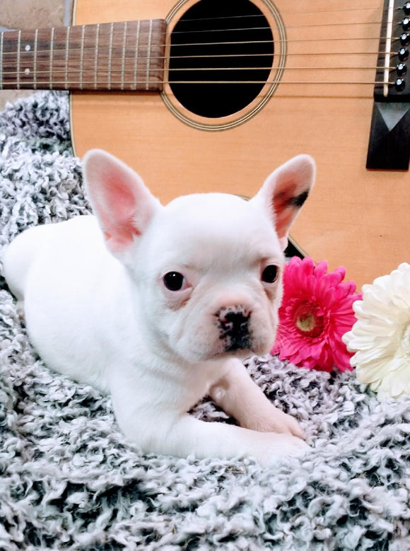French Bulldog For Sale Fredericksburg, OH Female- Alice