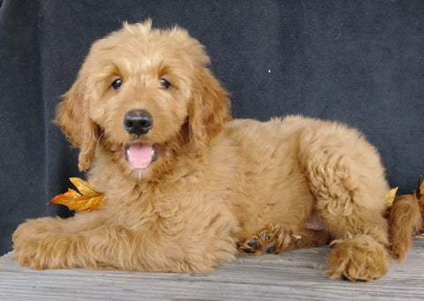F1 Goldendoodle For Sale Millersburg, OH Female- Alice