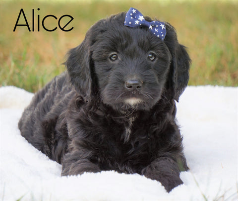 Mini Goldendoodle For Sale Sugarcreek, OH Female - Alice
