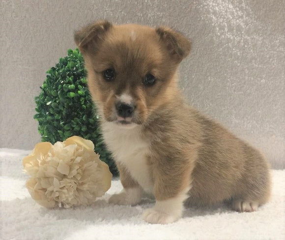 ACA Registered Pembroke Welsh Corgi For Sale Holmesville, OH Female- Allie
