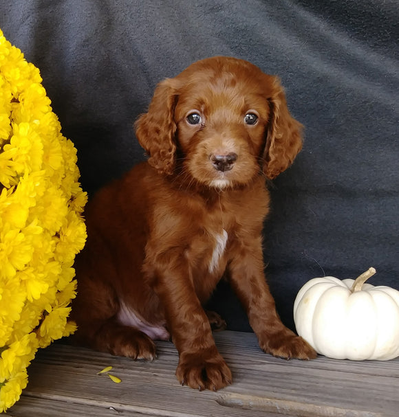 F1B Medium Labradoodle For Sale Millersburg, OH Male- Alvin