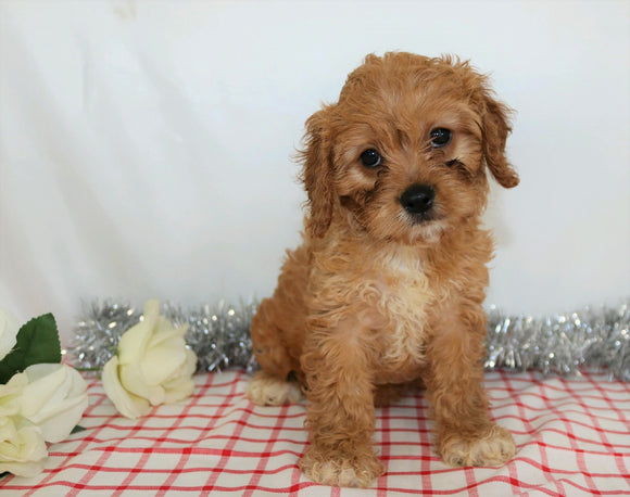 ICA Registered Cavapoo For Sale Wooster, OH Female- Amber