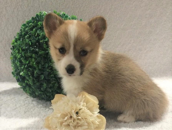 ACA Registered Pembroke Welsh Corgi For Sale Holmesville, OH Female- Annie