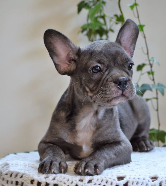 ICA Registered Frenchton Puppy For Sale Shiloh, OH Male- Archie