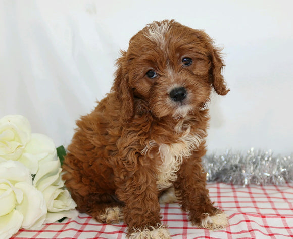 ICA Registered Cavapoo For Sale Wooster, OH Male- Arin