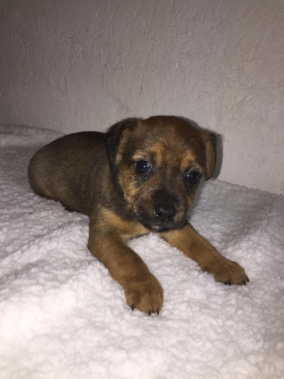 Yorkshire Terrier Mix For Sale Fredericksburg, OH Male- Asher