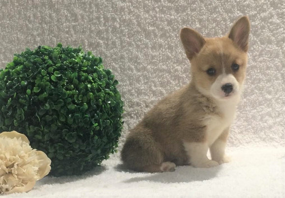 ACA Registered Pembroke Welsh Corgi For Sale Holmesville, OH Female- Ava