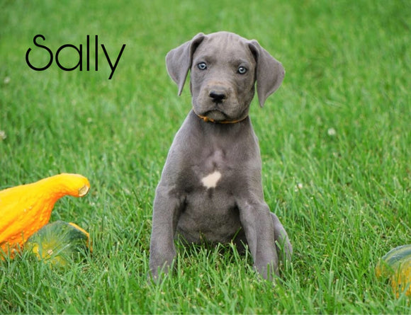 AKC Registered Great Dane For Sale MIllersburg, OH Female - Sally
