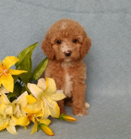 F1B Mini Labradoodle For Sale Millersburg, OH Female Bella