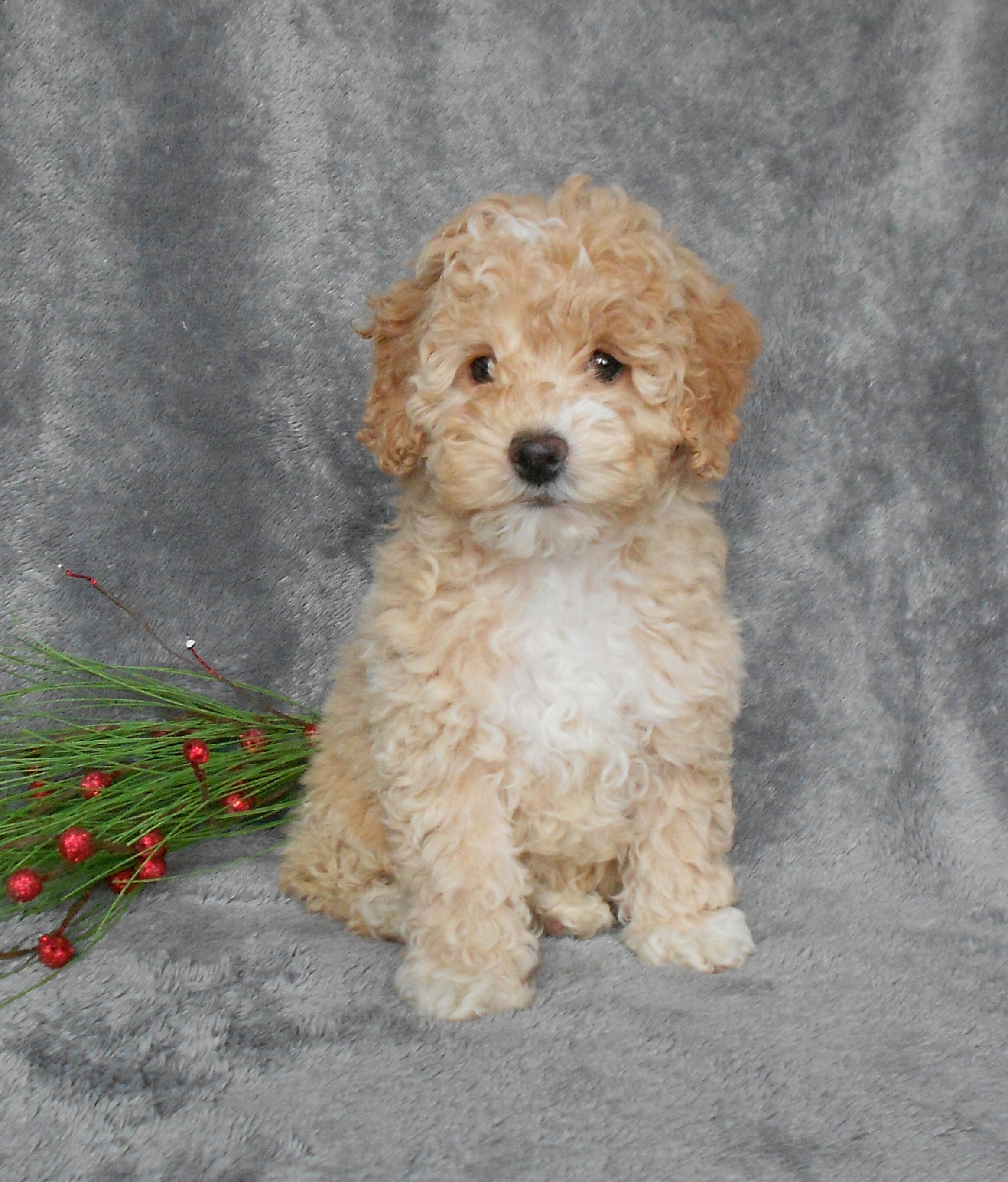 F1B Cockapoo For Sale Millersurg, OH Female-Bella – AC