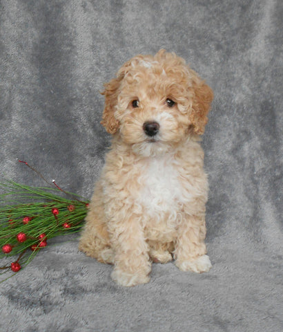 F1B Cockapoo For Sale Millersurg, OH Female-Bella