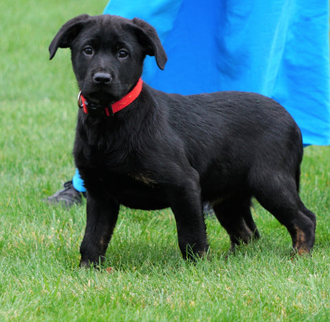 Rottweiler/ Lab Mix Puppy For Sale Fredericksburg, OH Female- Trixie