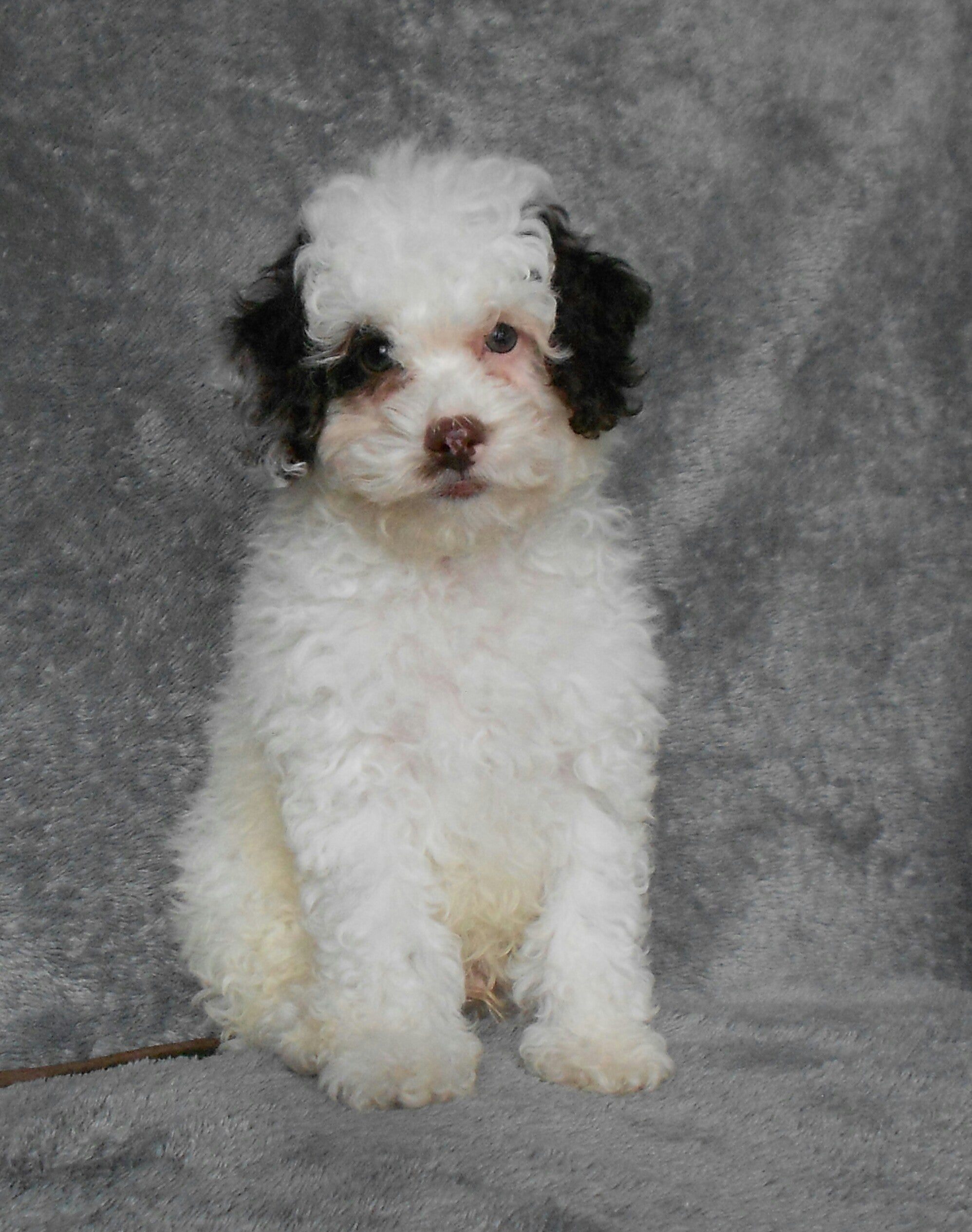 F1B Cockapoo For Sale Millersburg, OH Male- Bingo – AC