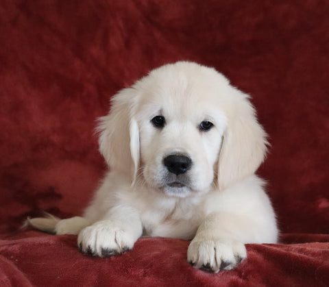 AKC Registered English Cream Golden Retriever For Sale Fredericksburg, OH Male - Bingo -Genetic Tested