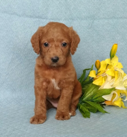 F1B Mini Labradoodle For Sale Millersburg, OH Female- Biscuit