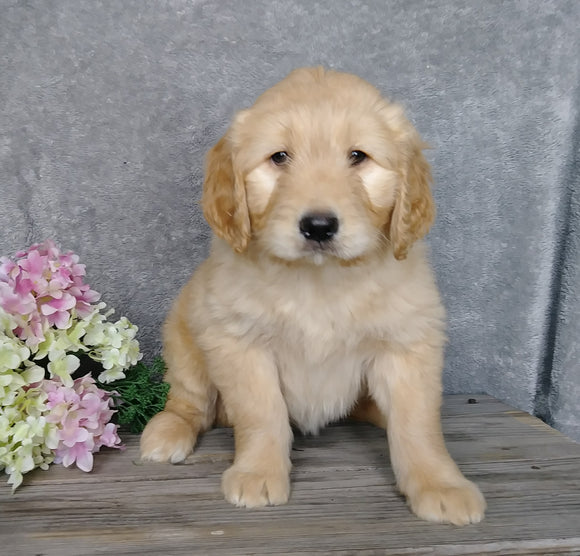 F1B Goldendoodle For Sale Millersburg, OH Female- Biscuit