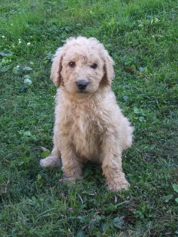 F2 Standard Goldendoodle For Sale New Waterford, OH Female- Bondie