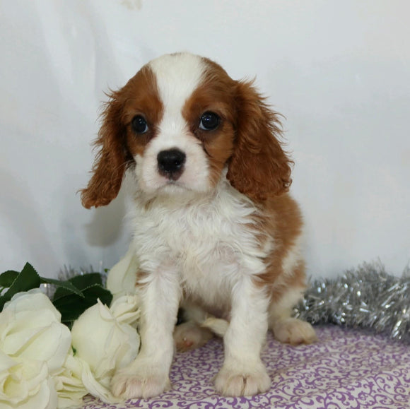 AKC Registered Cavalier King Charles Spaniel For Sale Wooster, OH Male- Branson