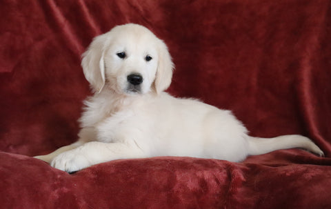 AKC Registered English Cream Golden Retriever For Sale Fredericksburg, OH Male - Braxton -Genetic Tested