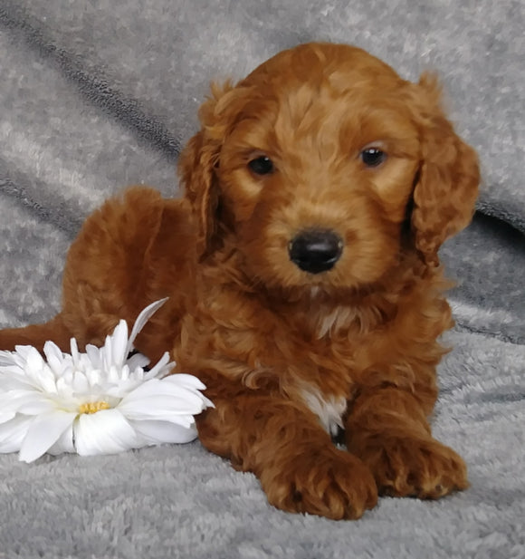 Goldendoodle For Sale Millersburg, OH Male- Brisk