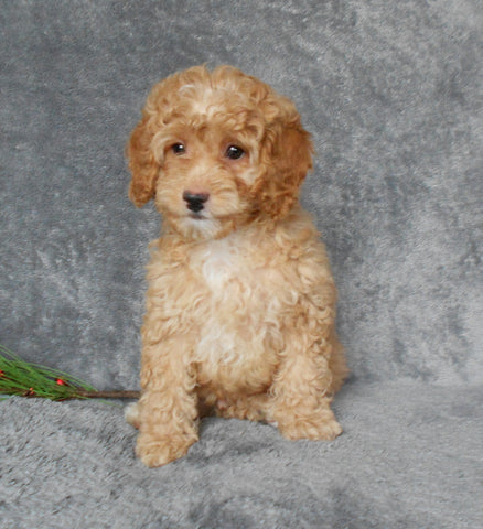 F1B Cockapoo For Sale Millersburg, OH Male- Brody